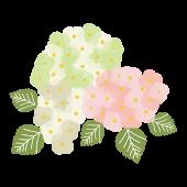 大人の紫陽花(アジサイ・あじさい)の花 イラスト【梅雨】