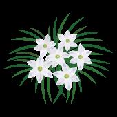 春の白いお花「ハナニラ(花韮)のイラスト