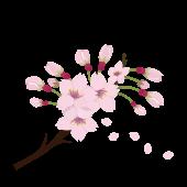 桜(サクラ・さくら)と蕾(つぼみ)のイラスト